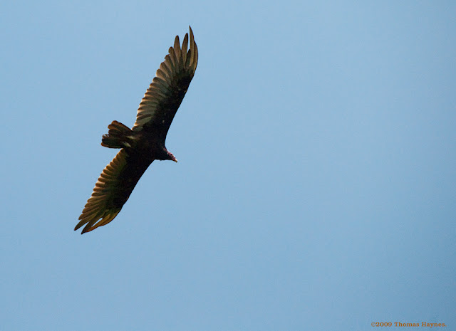 Long wings of a vulture as it circles above