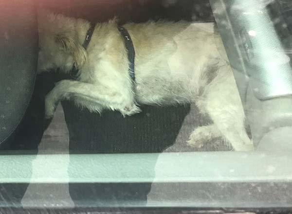 El detenido por agredir a un Policía Local en Las Palmas de Gran Canaria, se negó a identificarse al ser requerido para ello por tener a un perro encerrando en un coche / Foto: @PolicíaLPA