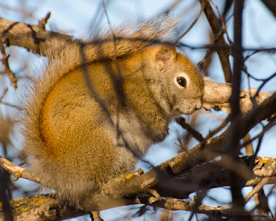 Red Squirrel, posing in Saskatchewan sunshine. © Shelley Banks, all rights reserved.
