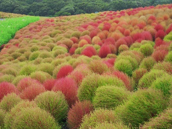 http://www.funmag.org/pictures-mag/flowers/flower-paradise-hitachi-seaside-park-japan-24-photos/