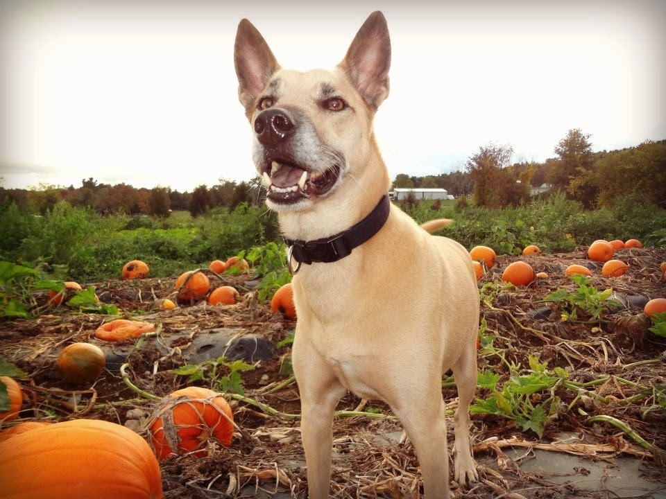 Dog friendly orchard pumpkin patch New England Fall Events