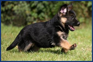 Lustige Schäferhunde