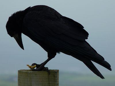 Siempre Poe- El cuervo, Edgar Allan Poe