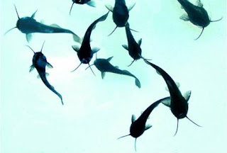 Penebaran Benih Ikan Lele