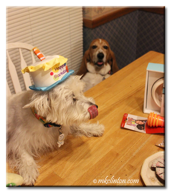 Westie wearing birthday hat licking his nose.
