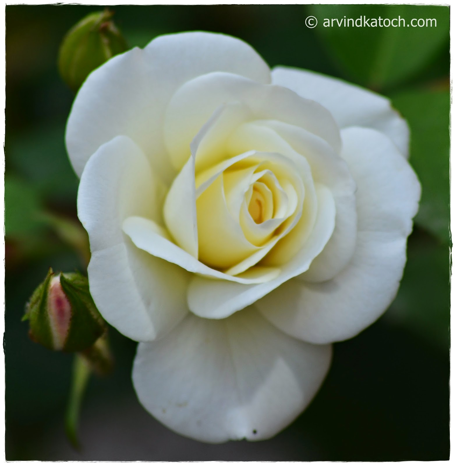 Beautiful, White, Rose, White Rose