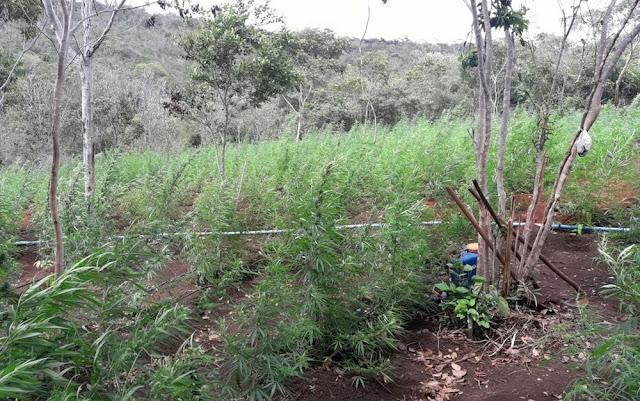 Droga era plantada em propriedade rural na cidade de Lençóis, na Bahia (Foto: SSP-BA)