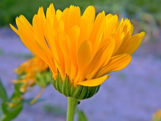 nagietek, kwiat, lato, ogród