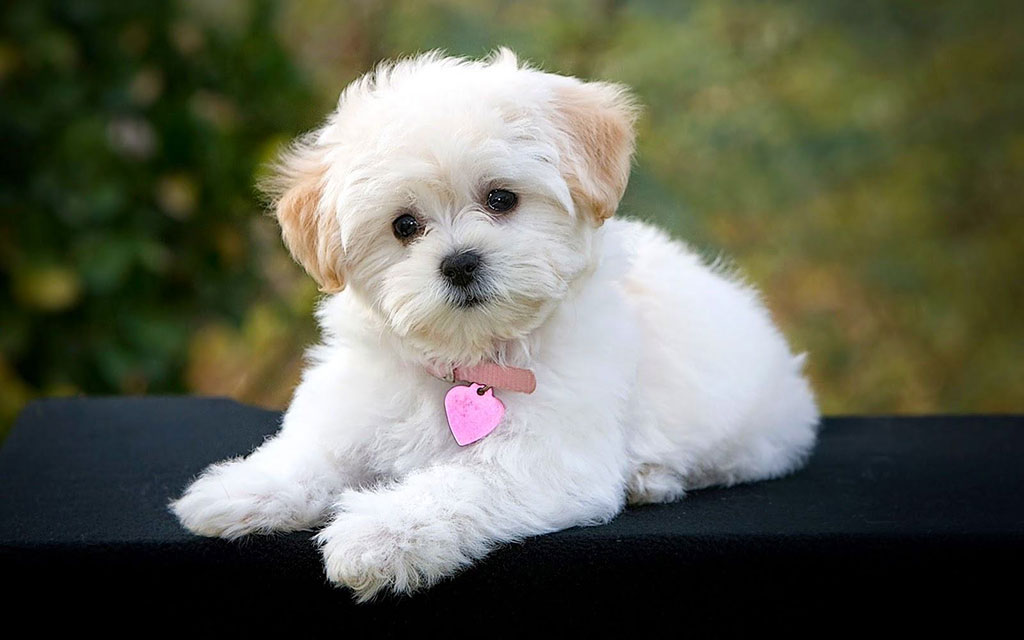 maltese essay A dog breed who's gentle and fearless, the maltese greets everyone as a friend his glamorous white coat gives him a look of haughty nobility, but looks can be deceiving this is a sprightly.