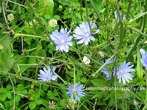 Common chicory-coffeeweed