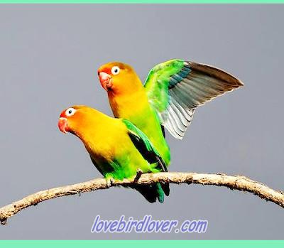 Proses penjodohan dapat dibilang praktis gampang susah Sukses Dalam Burung Lovebird Cara praktis menjodohkan Lovebird