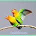 Cara mudah menjodohkan Lovebird