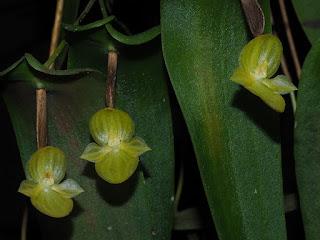 Pleurothallis volans orchid plant care and culture