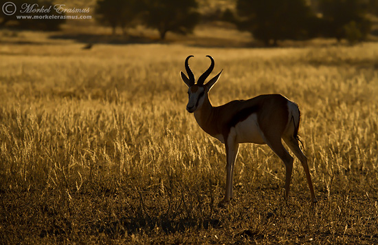 springbok backlight 2 KTP 2010