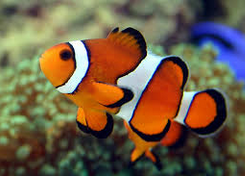 Ikan Hias Air Laut Clownfish