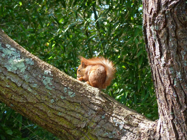 Red Squirrel Isles of Scilly