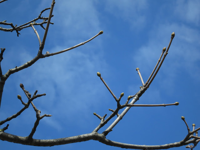 Green but unopened sycamore buds against a blue sky