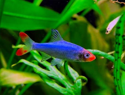 30 Ikan Aquascape Terindah Beserta Gambar Dan Harganya Hobinatang