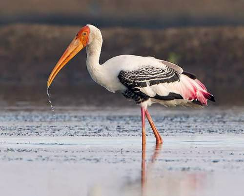 Indian birds - Painted stork - Mycteria leucocephala