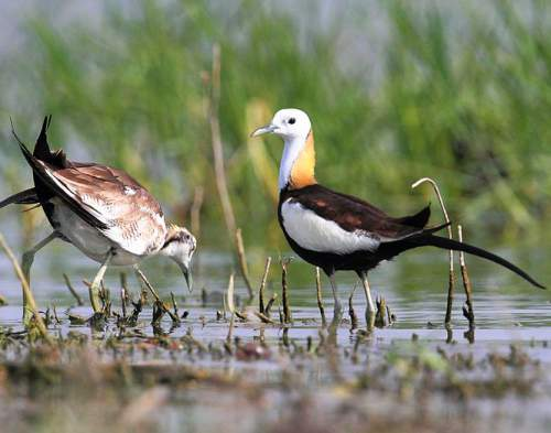 Birds of India - Photo of Pheasant-tailed jacana - Hydrophasianus chirurgus
