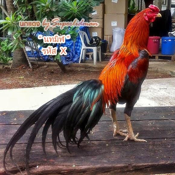 Obat Ayam Bangkok Ngorok Ampuh