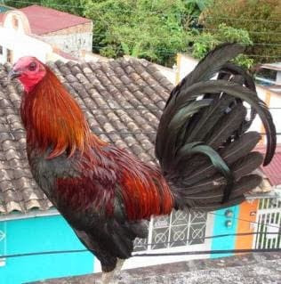 GALLO DE PELEA  brownred