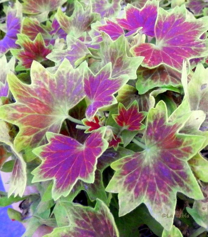 Pelargonium \