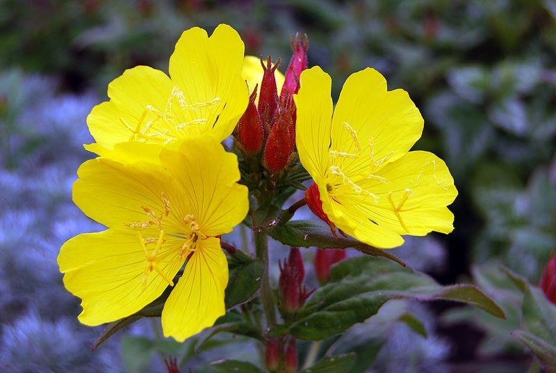 Evening Primrose Oil  Nature Bounth