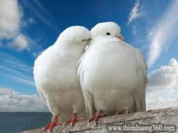 Chim Bồ Câu cả đời chỉ có một bạn tình duy nhất Chúng thường yêu thương quấn quýt & không ngại thể hiện tình cảm công khai