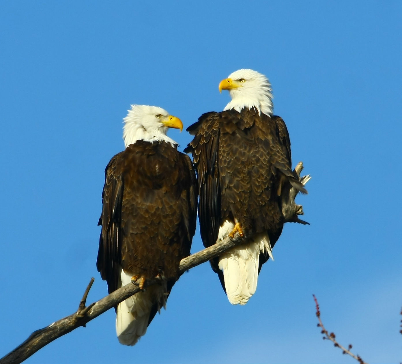 All About Animal Wildlife Bald Eagle Cool Photos Images