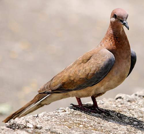 Birds of India - Photo of Laughing dove - Spilopelia senegalensis