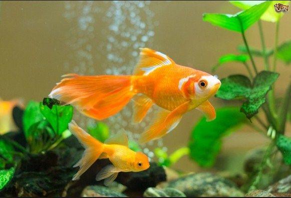 Ikan mas koki, asal usul dan klasfifikasinya