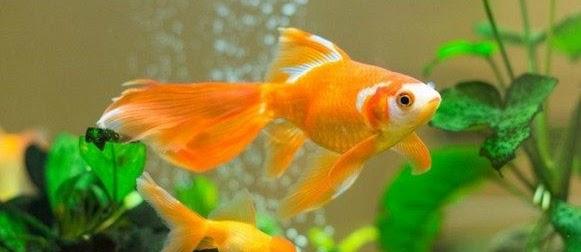 Ikan Mas Koki, Asal Usul dan Klasifikasinya