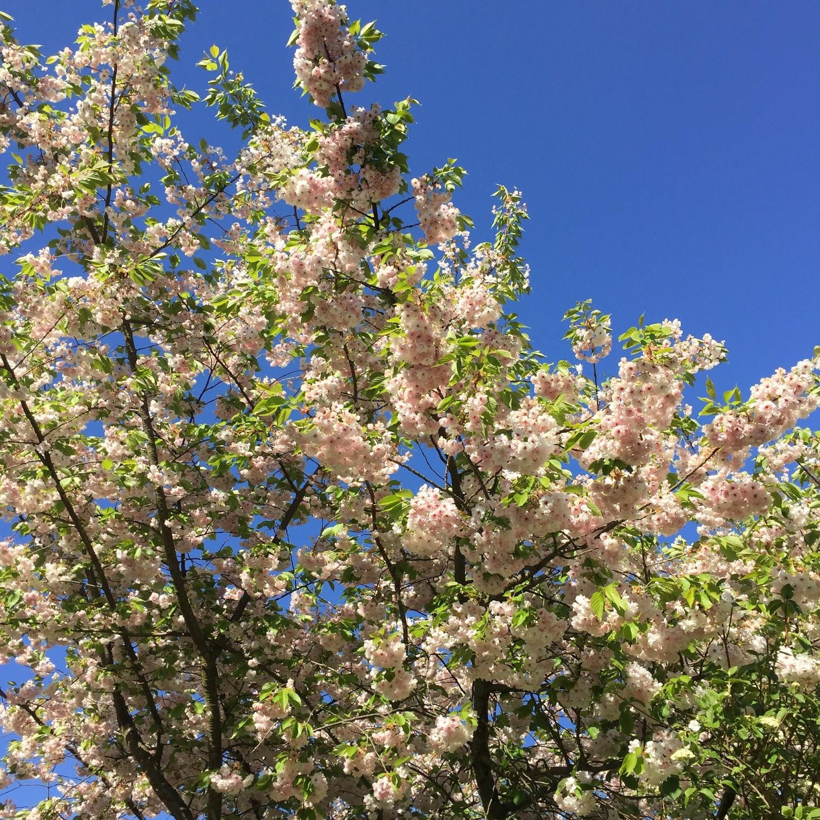 Regents park blossom