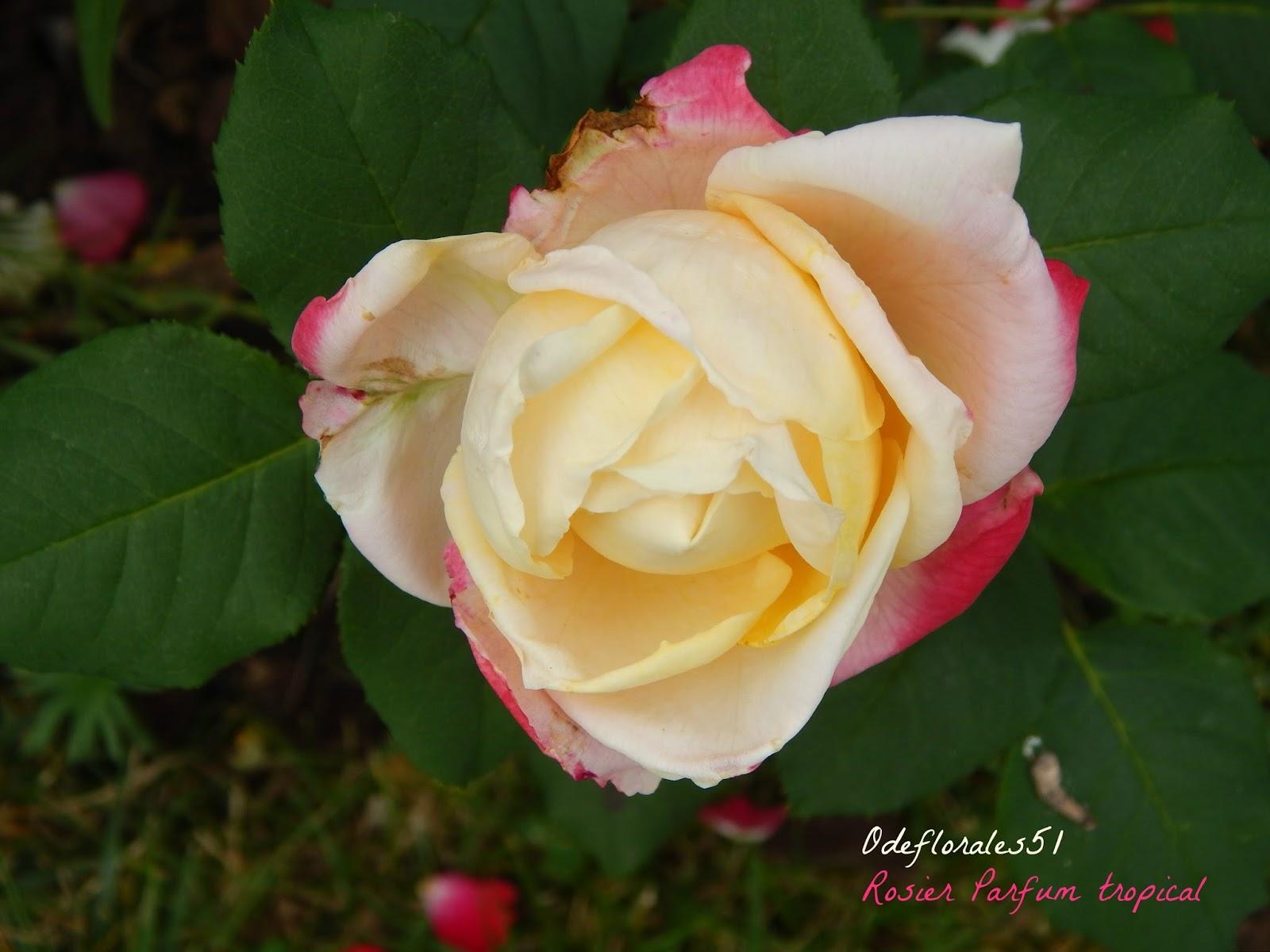 beaut s florales rosier parfum tropical. Black Bedroom Furniture Sets. Home Design Ideas