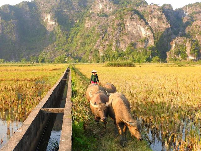 Đoàn thuyền xuôi dòng sông êm dịu, đi qua những cánh đồng đương độ thu hoạch là hình ảnh khó quên đối với những ai đến đây và để lại ấn tượng sâu sắc trong lòng mỗi du khách quốc tế khi lần đầu được tận hưởng khung cảnh yên bình mang đậm hồn Việt. Ngoài Tam Cốc - Bích Động, bạn cũng có thể dành thời gian tham quan chùa Bái Đính, Tràng An, hang Múa... những địa danh du lịch nổi tiếng, hấp dẫn du khách ở Ninh Bình.