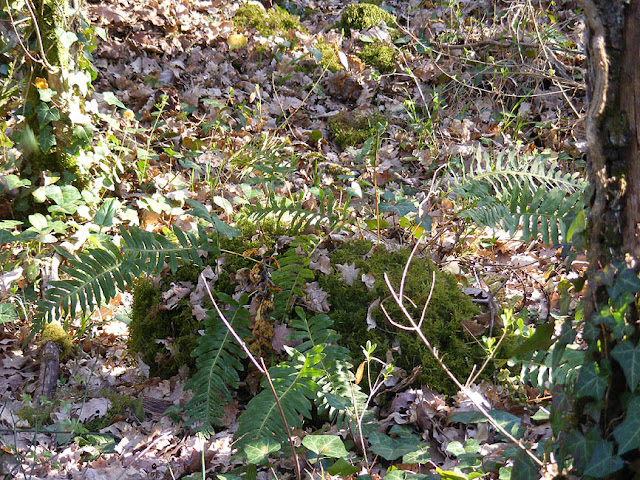 Polypodium sp fern.  Indre et Loire, France. Photographed by Susan Walter. Tour the Loire Valley with a classic car and a private guide.