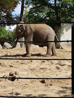 elephant-d-asie-zoo-de-maubeuge