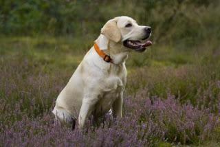 Perbedaan Antara anjing Labrador dan Golden Retriever
