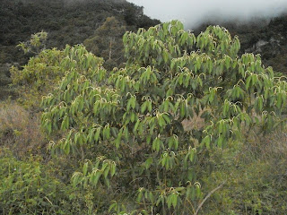 Cordoncilla - piper bogotense colombia andes tree arbol leaves bark