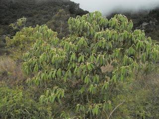 Cordoncilla - piper bogotense colombia andes tree arbol leaves bark