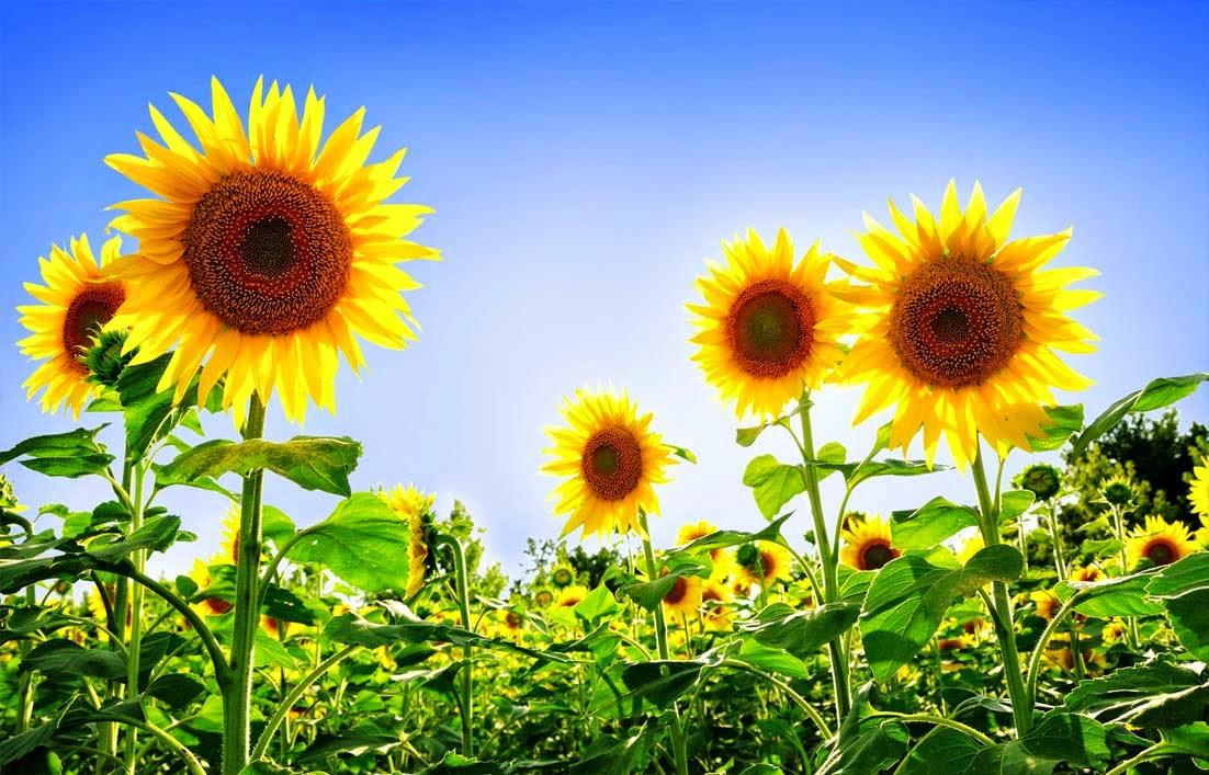 Klasifikasi dan Ciri Ciri Bunga Matahari Gambar