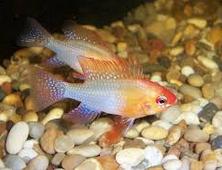 Perbedaan German Blue Ram Fish jantan dan betina