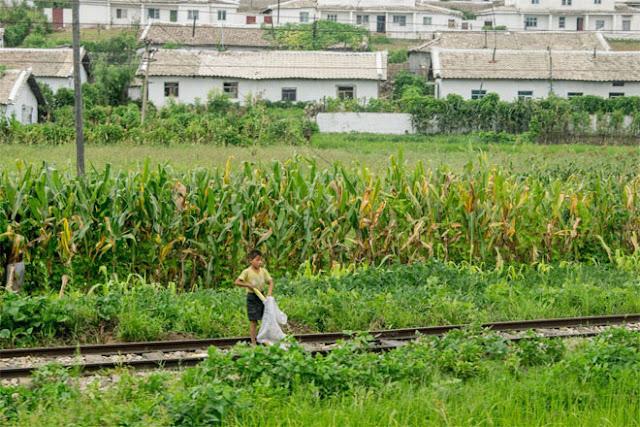 Khi đoàn tàu lăn bánh, Chu tiếp tục ghi lại những hình ảnh về cuộc sống ở Triều Tiên. Cậu bé này đang hái ngô trên cánh đồng có đường tàu chạy qua.