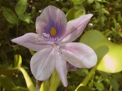 Camalote Eichhornia crassipes