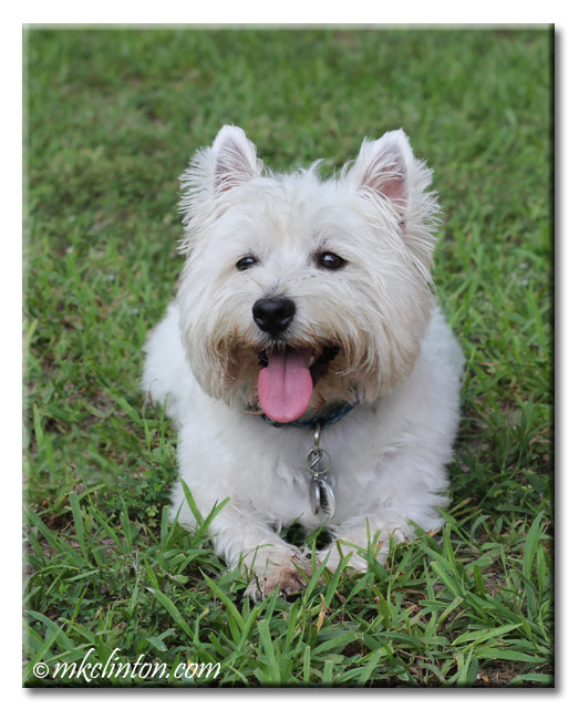 Pierre the Westie with his tongue out.