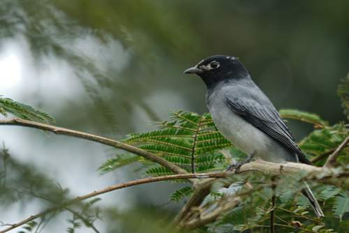 Birds of India - Image of Black-headed cuckooshrike - Lalage melanoptera