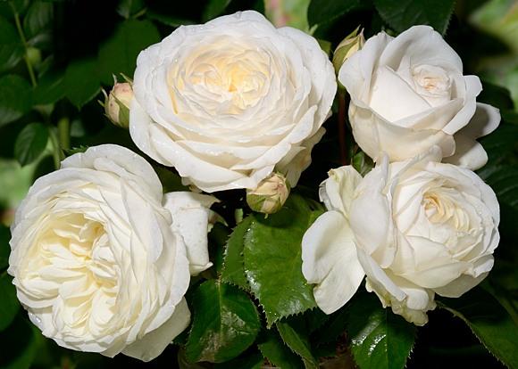 Parky rose сорт розы фото