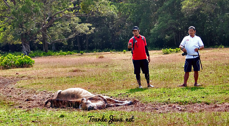 ditemukan banteng mati di padang cidaon