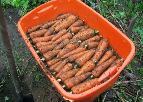 How To Harvest And Store Carrots Vegetable Gardening 101 Gardening